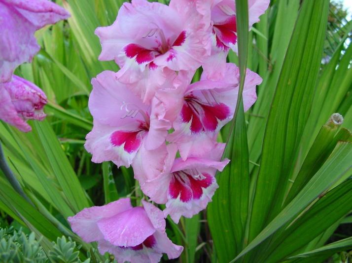 foto-de-gladiolos-de-color